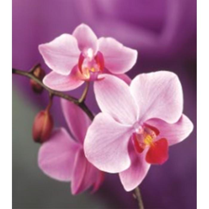Алмазная мозаика «Phalaenopsis Sacramento» 30*40см без рамки
